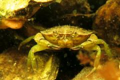 Simone-Jongsma-krab1_1ePLaats_Onderwater